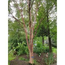Betula albosinensis 'Chinese Garden' - reddish bark on an established plant