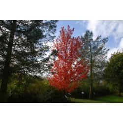 Acer x freemanii 'Autumn Blaze' - autumn colour