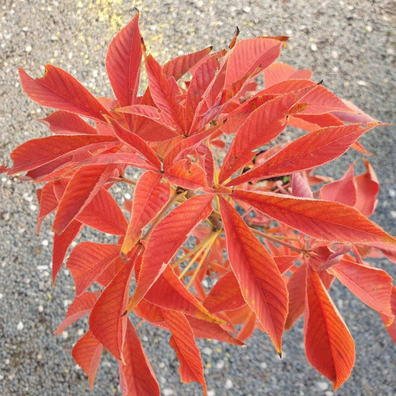 Aesculus glabra 'October Red' - autumn colour