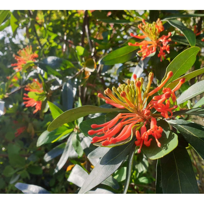 Embothrium coccineum var. lanceolata - summer flowers