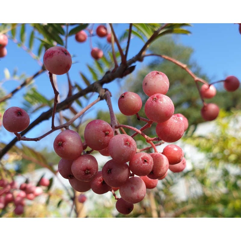 Sorbus 'Pearly King' - fruit turning pale pink and white in early September