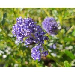 Ceanothus 'Concha' - flowers in late summer