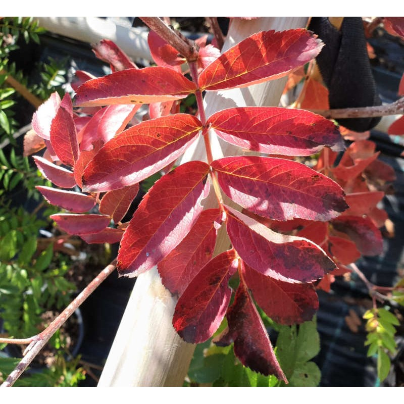 Sorbus 'Titan' - autumn colour in late September