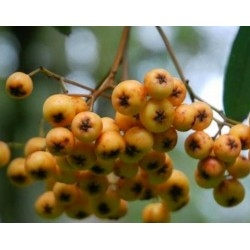 Sorbus 'Wisley Gold' - autumn berries