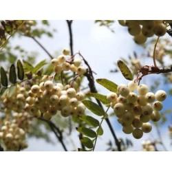 Sorbus cashmiriana - white berries in autumn