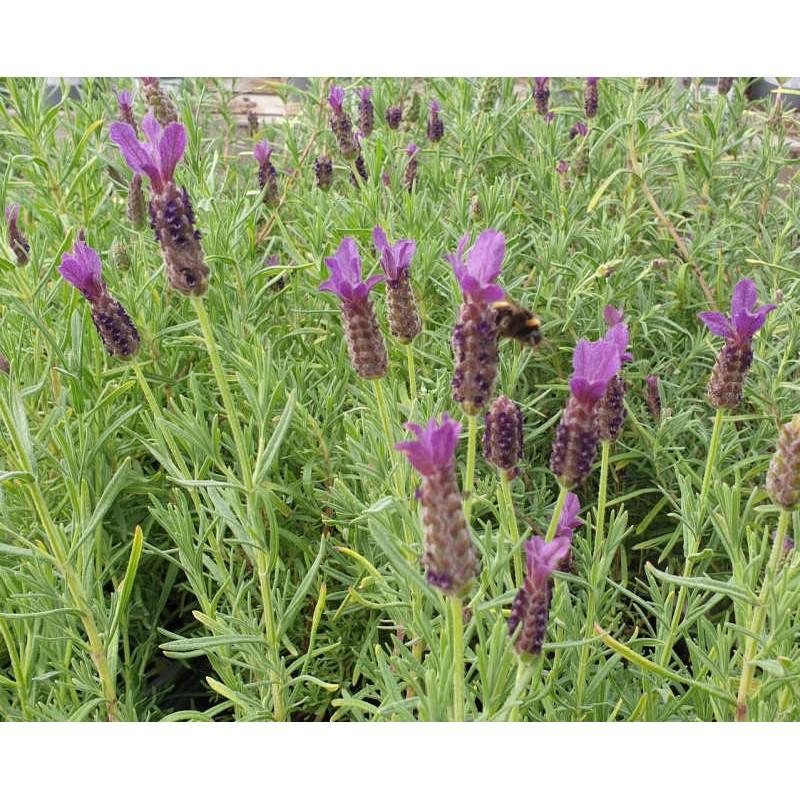 Lavandula 'Regal Splendour' - summer flowers