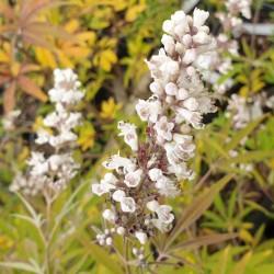Vitex  agnus-castus 'Albus' - flowers in September