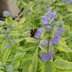 Caryopteris x clandonensis 'Summer Sorbet' - flowers in late summer