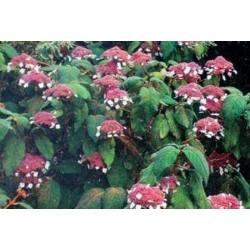 Hydrangea aspera subsp sargentiana - late summer flowers