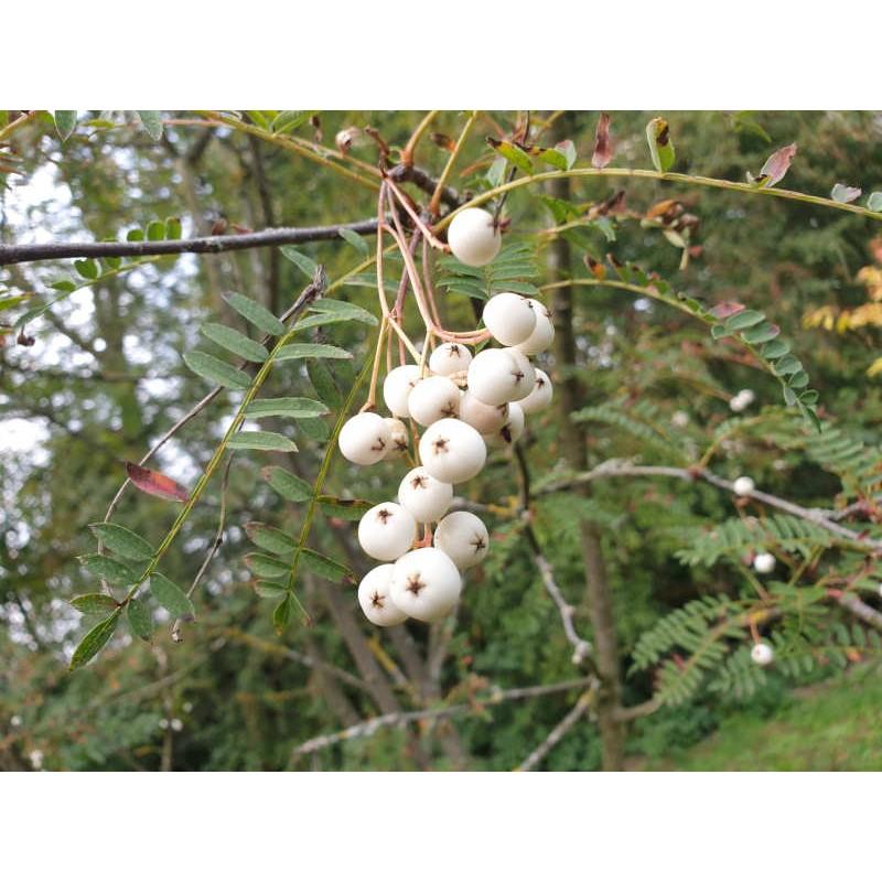 Sorbus eburnea - berries in September