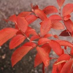 Stewartia sinensis - autumn colour