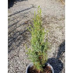 Juniperus communis 'Sentinel'