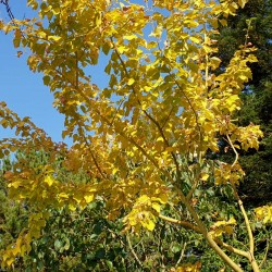 Acer rufinerve 'Yellow Ribbon' - autumn colour