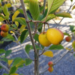 Crataegus punctata var aurea - autumn fruit