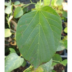 Tilia nobilis - leaf in September