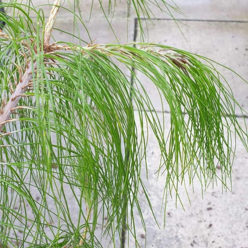 Pinus patula - drooping needles