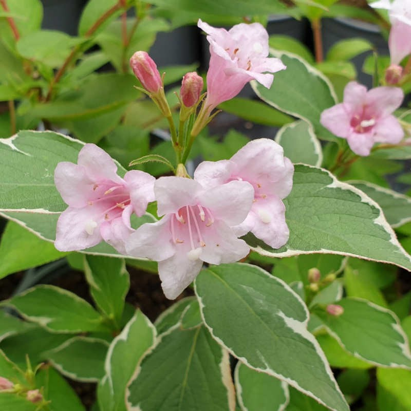 Weigela florida 'Suzanne' - summer flowers