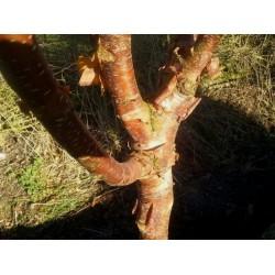 Betula utilis 'Dark Ness' - handsome winter bark