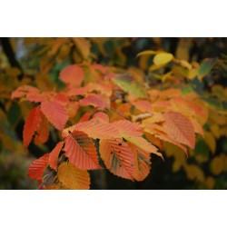 Carpinus betulus 'Purpurea' - autumn colour
