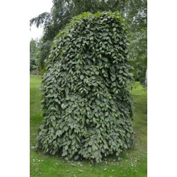 Carpinus betulus 'Pendula' - established weeping tree covered with dark green summer leaves
