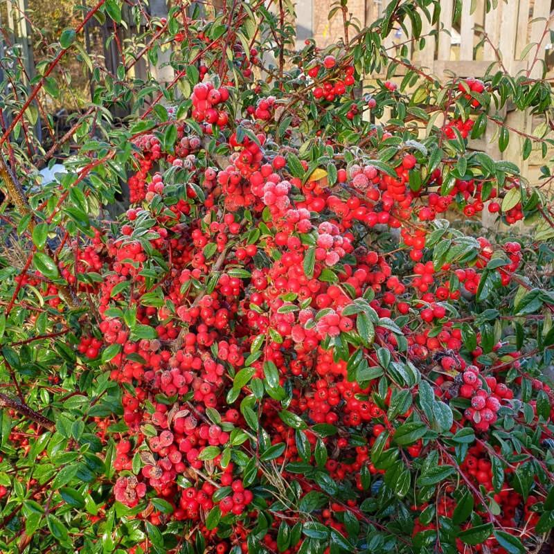 Cotoneaster cooperi 'Nicolette' - berries in winter