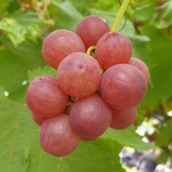 Vitis vinifera 'Flame' - summer fruit