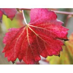 Vitis vinifera 'Spetchley Red' - autumn colour