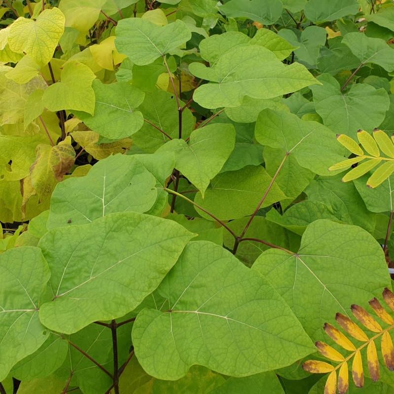 Catalpa bignonioides - leaves in September