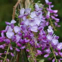 Wisteria sinensis 'Caroline' - flowers