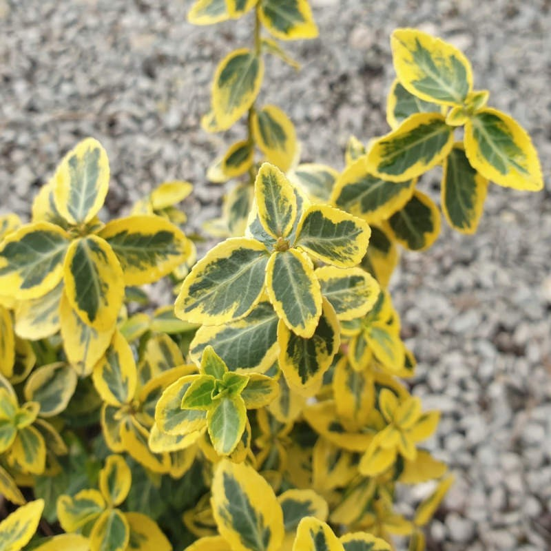 Euonymus fortunei 'Emerald 'n' Gold' - variegated leaves