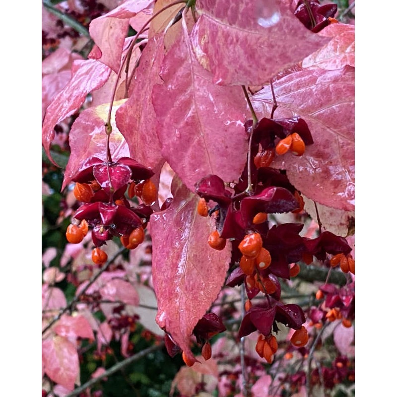Euonymus planipes - autumn colour and fruit