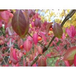 Euonymus alatus 'Timber Creek' - fruit