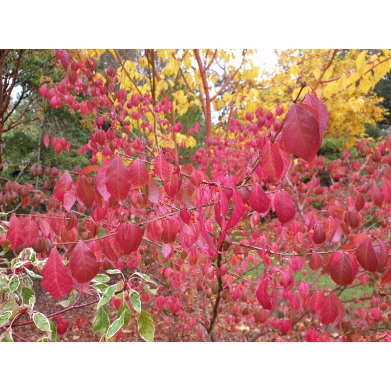 Euonymus alatus 'Timber Creek' - autumn colour