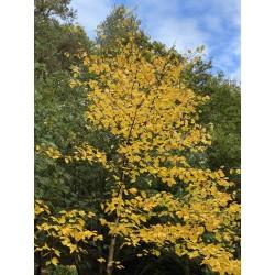 Betula maximowicziana - autumn colour