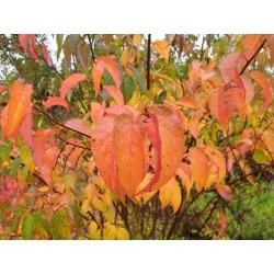 Stachyurus chinensis - autumn colour