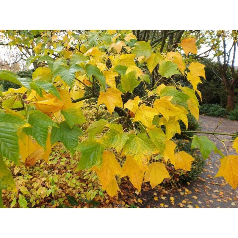 Acer rufinerve - autumn colour