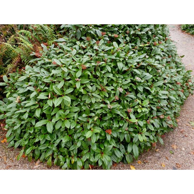 Viburnum davidii - established plant