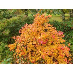 Fothergilla major - autumn colour on an established plant