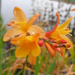 Crocosmia 'Orange Pekoe' - summer flowers