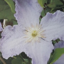 Clematis viticella 'Blekitny Aniol' - flower