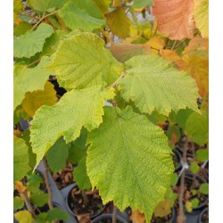 Corylus avellana 'Webb's Prize Cobb' - autumn leaves