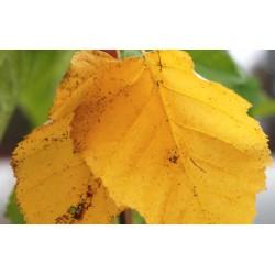 Betula papyrifera 'Vancouver' - autumn colour
