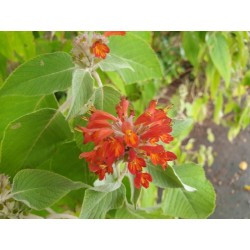 Colquhounia coccinea - flowers in late summer