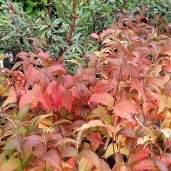 Diervilla rivularis 'Troja Black' - autumn colour