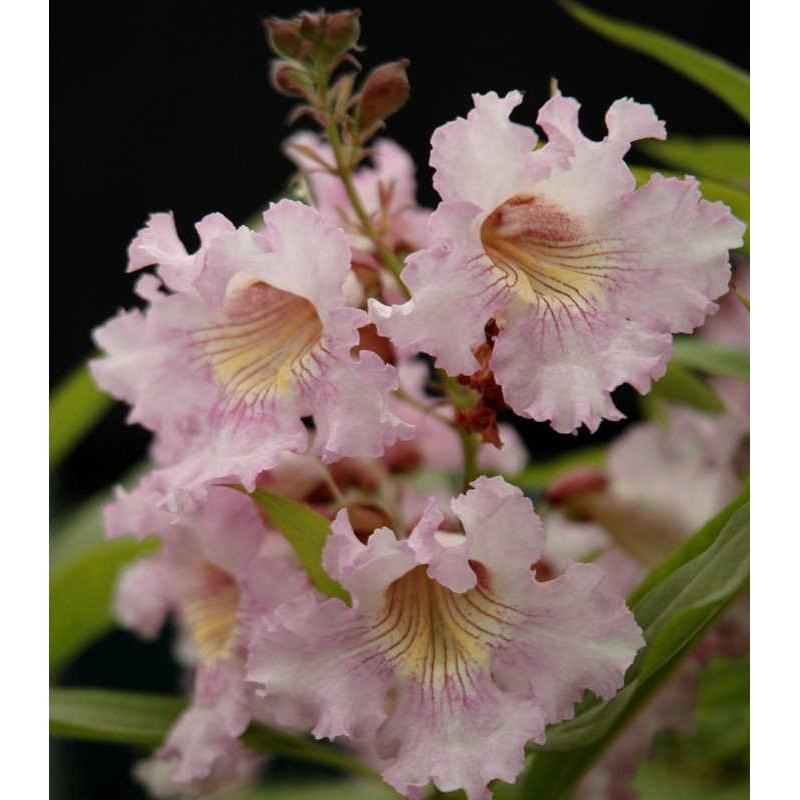 Chitalpa tashkentensis 'Pink Dawn' - summer flowers