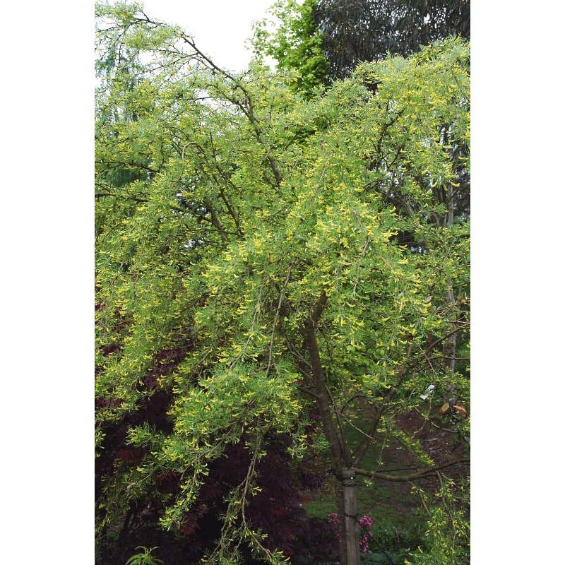 Caragana arborescens 'Lorbergii' - specimen tree