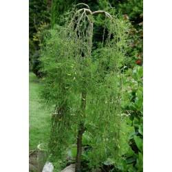 Caragana arborescens 'Walker' - established weeping plant