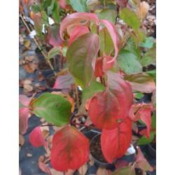 Cornus kousa 'Teutonia' - autumn colour