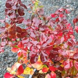 Berberis thunbergii 'Admiration' - autumn colour