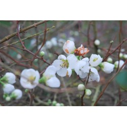 Chaenomeles superba 'Jet Trail' - spring flowers